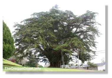 Harrison G. Blake Monterey Cypress tree